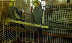 2 Cockatiels need good homesw/cage.$175.00 or b/o