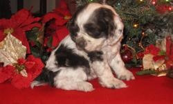 She was born Nov 7th. She is brown (chocolate) & white in color. She is up to date on her shots and wormed. She will go to her new home with a starter kit that will have registration paper, health record, food, treats, pedigree (excellent one with lots of