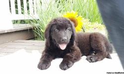 Hi there! My name is Cody, the male Newfoundland AKC!  I was born on May 17, 2016. They're asking $750.00 for me! I'll come home with shots and worming to date. I get a long well with other pets and I am family raised. If you are someone who