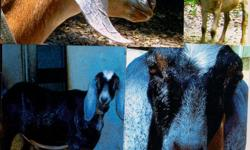 Two (2) Nubian wethers DOB 12/05/2015 Out of large, even tempered Nubian Milking Stock, Impeccably disbudded, tattoo R ear (GYG-1), neutered, UTD immunizations Easy leading with collarand black/white one trained to load trailer, calm