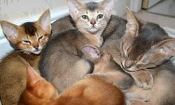 compassionate Abyssinian kittens clean For more information's text us at (xx731xx) x 418 x 5940