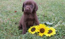 Hallo! I'm Conner, the enchanting chocolate AKC Chocolate male Labrador Retriever! I was born on June 12, 2016!  I'll come vet checked, with my shots and worming to date. I am very playful, loving, gentle and can not get enough