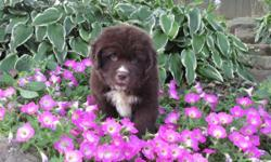 Hi there! I'm Conner, the playful male Newfoundland AKC! I can help you start your morning; let's walk and talk! I was born on June 14, 2016. They're asking $1199.00 for me! I'll come home with shots and worming to date. If you like some
