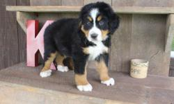 Say hello to Conner and he is a cute tri-color male AKC Bernese Mountain Dog! This little one is fun-loving, loves to play ball and take long walks by your side. He was born on April 7, 2016. He will come up to date on shots and worming. Price $799. If