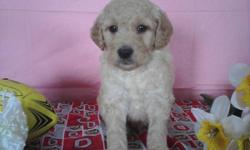 Would you like a friend to play with? Then I'm just the friend you are looking for! Hi, I'm Conner! The sweetest Male F1B Miniature Goldendoodle that you will ever meet! I will be around 30-45lbs full grown. I was born on January 20th,2015! Many people
