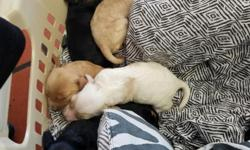 Pure breed Cooker Spaniel 3 females 3 males 1 female white with brown patches 1 female black with brown patches 1 female ligth brown 1 male all black 1 male black with brown patches 1 male light brown