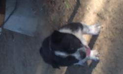 Corgi/Queensland Heeler puppies lots of colors to pick from lots of females 2 males I have some ready now and takingdeposits on the other littler dad AKC Welsh Corgi mom's are Heelers great family dogs