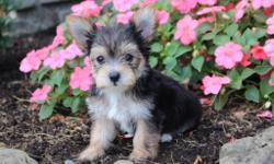 Yo! I'm Cory, the studliest tri-color male Morkie!  I like to play and cuddle. I was born on June 7, 2016 and my parents 9 & 7 lbs. They're asking $599.00 for me.! I'll come with shots and worming to date! Do you think I'm most coolest male