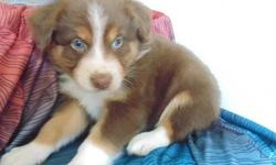 Courteous M/FAustralian Shepherd puppies,, if interested, text me using this number 218 x 461 x 0690 the same number 218 x 461 x 0690