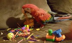 Hatched Aug 6th 2015 DNA female hybrid between a Greenwing and scarlet very loving cuddly sweet bird. Sweet loves everyone.