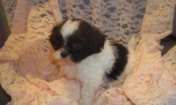 1 Male Cuddle Bear (ShihTzu/Maltese) born on 3-14-11. UTD on shots and comes with a health warranty. For More Info Call/Text: 262-994-3007 ** Credit Cards Accepted (Visa/MasterCard) ** Financing Available ** Shipping Available