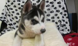 I have a stunning litter of blue eyes siberian husky puppies both mum 5lb and dad 3lb live as part of my family in my home They love to play and snuggle for a cuddle. Fully weaned from there mum wormed and defleed with vets products puppy's will leave