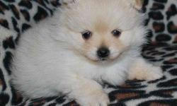 Please make all inquiries directly by calling or send a text to the number on the advert..( (  3 6 O 8 6 O 7 2  5 6 ) ).. We have healthy females and males pure breed Pomeranian puppies approved for loving homes now. 3 males and 5 females in