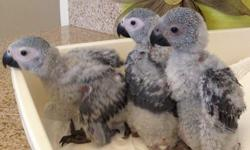 African grey parrot pair for sale Hi I am selling my African grey parrot male and female pair for sale 8 years old has A closed rung very good health I am selling them with breeding box£600,,,,,, if you need cage extra cost 150 if you are interested then