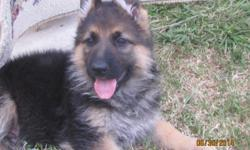 1 male 3 females (black and red) DOB:11th may 2014 The puppies are dewormed and vaccinated. Both parents are AKC registered. Both Parents Had their hips checked. The father Till von Fidelius is imported from Germany.His German