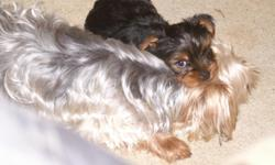 We are a Yorkie Family. We have 3 puppies for sale, two males and one female. They were born on 2/20/2014. We have both parents and they are AKC registered. We have the AKC paperwork for the puppies. All have had their first set of shots and are ready to