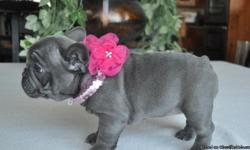 cute and adorable baby French Bulldog Puppies for sale. I have French Bulldog Puppies age ranging from ,10 weeks. Adoption price for baby male 700 this amount include shipping, vet certificate and kennel. For baby female 800 and pair include shipping, vet