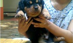 Beautiful Rottweiler puppies, these puppies are current on their vaccinations and veterinary. Comes with all necessary documents. They are pure Rottweiler puppies Champion line, which agrees with the kids and other pets. They are seeking approval to any