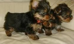 These Yorkies have got all shots, have excellent temperaments, good pedigrees, weaned, vaccinated, groomed, house broken. All paperwork attached. They are AKC registered with a year congenital health warranty. Present weights are 1.1lbs 1.3lbs. Estimated
