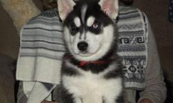 They are potty trained well socialized siberian husky puppies ready to get into their new homes.They are potty trained in a well confined area and are on health care.They enjoy the company of kids most especially and others.They are present on their