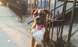 Cute friendly female Boxer 7 months old