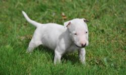 White cute male and female bull terrier puppies available now!!they are very playful with kids and other pets, text/call us at (302) 417-1790 for more information and photos!!!