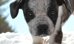 ** He is Located in Central Maine ** Cute Cattledog / Pit Bull Puppy Male $500 cash only.. He has some really nice patches & markings so send a phone number and we can text more photos.. He is super playful and farm raised.. Ready to go TODAY Call or Text