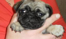 Cute Fawn Pug Pups 5 weeks old taking deposit in time for Christmas shots and wormed