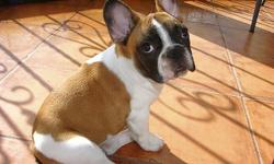 I have cute and lovely French Bulldog puppies for sale . They are super cute male and female French Bulldog puppies . They are socialized , playful and good with kids as well as other home pets. They will come along side 6 month health guarantee . Email