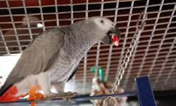 Are you inteterested in an african grey? hear is an opportunity for you to own one.Do not hessitate to contact so we discuss further about her.She is 22months and is disease free.