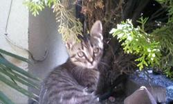 Gray tabby kittens, 11 weeks old. Domestic, medium hair. Very playful and affectionate.