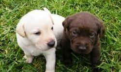 Cute Labrador retriever Puppies Available We have registered Labrador retriever puppies available. They will come with shots done and will be dewormed. Our puppies are house and potty trained, socialized with kids and pets. they are vet checked and more