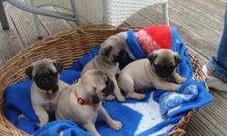 pug puppies are 14 weeks old and ready to go to a nice home. they have been wormed and has all shot. If you are interested and would like to see him please call us and we will set up an appointment to see him. He was born on 4-14-2014 and would make