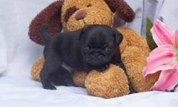 The most beautiful Pug puppies you'll find. AKC registered, dewormed, vaccinated and microchipped puppies in a variety of colors and ages available. Each puppy is $300. Puppies available now! Please email for photos and more info.