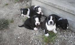 boston terrier/beagle mix----2 males born june 3rd, black one has been sold
