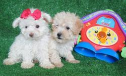 Poodle   I have 2 poodle puppies ,1 female and 1 male, they are original, playful and good with people, and eat alone, they have their first shot, are dewormed, more information call or you can send texts, thanks.   Tengo 2 perritos poodle , 1