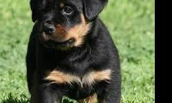 cute and lovely rottweiler puppies for adoption , they are spectaculer pure breed so if u feel interested in a rottweiler arround then contact me .