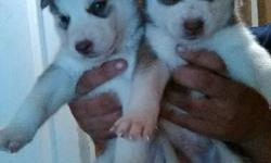 Siberian Husky for adoption. male and female up to date on his shots, akc registered and chipped, not neutered. He's very friendly and like to play a lot, he's active and a very happy pupp, very smart, and can get along with almost all dogs, some cats,