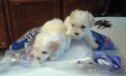 cute small female toy poodle 450 male toy poodle 400 very small and cute dont shed, they love indoors and outdoors kids people very smart dogs.ready aug 20th they are smaller than pic cause we took close shot of them