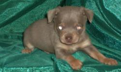 Gardenjewel Chihuahuas has several cute tiny babies ready now. Boys and Girls available. Credit Card purchase may be available for you. Ask us for details! Most of our babies will be about 4 lbs. All are raised 100% in our clean, loving home.Loved