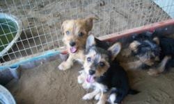 8 week old female yorkie chi ( 7/8 yorkie 1/8 chihuahua) black and gold. Has had 6 week shot and is UID on wormings.Will weigh about 6 lbs. grown.Very friendly and playful. House trained to doggie door.