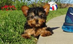 Cute Yorkie puppies available and ready for a new home. Visit www.morrisyorkshireterrier.com for more details.