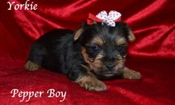 We are a local breeder with occasional puppies for placement. We breed for puppies that have great confirmation and a gentle disposition. Pepper is a Yorkshire Terrier and will be about 4-5 pounds when he is fully grown. His dad is a chocolate Yorkie and