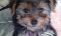 Cute Yorkie pups ready for new homes. They are eight weeks and have shots and their pure bred papers. Very small and learning to potty train now but still have a bit to go. Two boys left. Asking 700.00 Located in Lakeland but negotiable to the right
