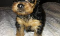 Two months old healthy and happy boys. Amazingly adorable face, compact body with short legs, greatest temperament. Has the softest coat hypoallergenic will be 4 lbs. or less, and weighing in at 1.5 lbs. now. First set of shots, de-clawed, doc tails, and
