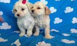 Cute Maltipos selling my french poodle minitoy poodles grow up to 1 foot and can weigh 7 pounds, original, playful and very clean, 8 weeks old, and I only have 1 females and 1 males may call 9513768260 or can send a text message if you like at any