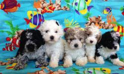 Poodle For Sale Are 8 weeks,i have 3 males and 3 females, they are tail are cut and eat alone, are very clean, adorable and playful,are healthy,have their first vaccines****We sell at 200 dollars****. We live in Moreno Valley 92553, for more information