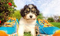 This lovely girl is ?Kirsten?, our sweetest female CavaChon Designer puppy available in San Diego. Check her out via Skype or FaceTime!!   Cavalier King Charles Spaniel x Bichon Frise * 9 weeks old  * Adult weight: 8-13 lb. * Checked by a