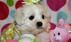 I have 2 adorable female maltipoo x AKC teacup poodle puppies. They will be around 5 to 8 pounds and all set to go residence with you now. 2 whites and a male. Look no more if you are looking for cutest white new puppies. They are the cutest puppies. They