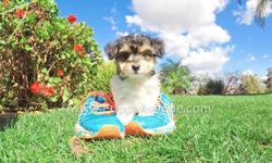 Say hello to ?Lyle?, our smallest puppy with the biggest personality! Lyle is a Parti Morkie Hybrid puppy for sale in San Diego. He is current on his vaccines and comes with a One Year Congenital Health Guarantee. Lyle will be 5-6 lbs Full Grown, he is
